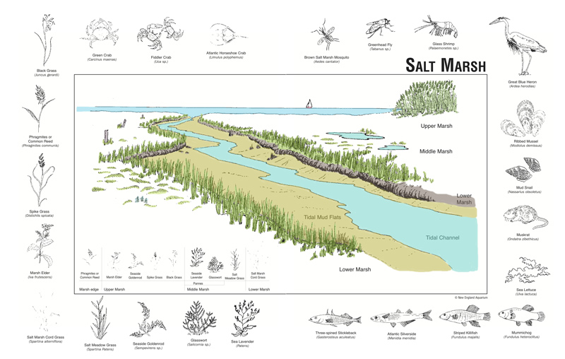 Salt Marsh - Outer Island